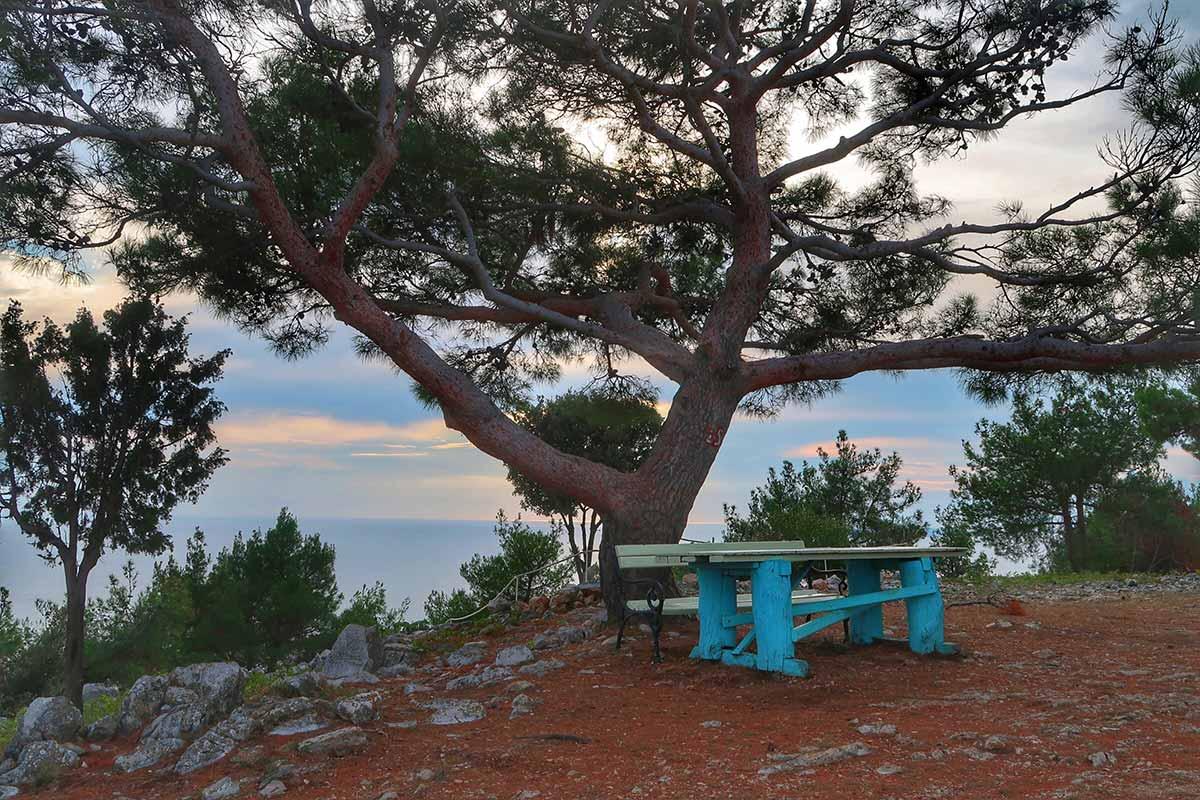 Croatian pine tree