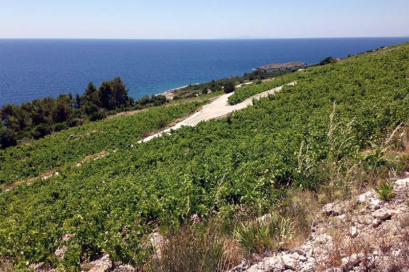 plavac mali vineyards