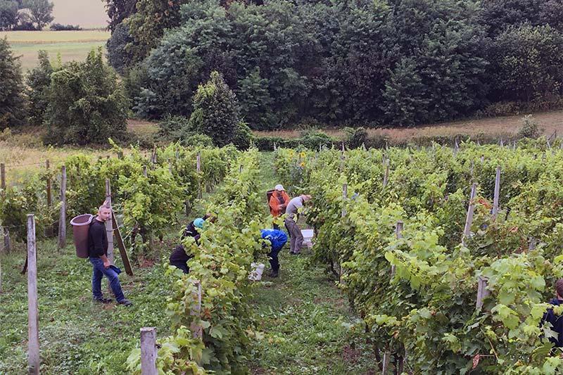 wine harvest Croatia